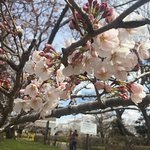 The cherry blossoms had just started to bloom in early April 2017