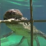 Cage diving with crocs