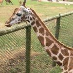 We fed giraffes at Virginia Safari Park