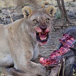 An amazing sighting of a Lioness on a kill in Pilanesberg National Park with HBOA day-tour