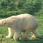 Polar Bear at YWP