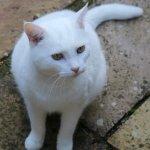 Nepeta (Catmint)