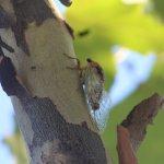 Cicada Siting . Sky Ranch Lodge