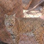Bob Cat PHX zoo