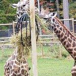 New giraffe exhibit