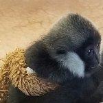 baby Gibbon..so cute