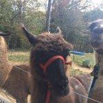 Loved the llamas