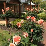 Stunning shows of roses are part of the appeal at the wineries