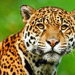 Best place to see jaguar in the amazon.