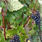 more grapes.. harvest season is fun