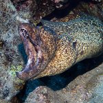 Yellowmargin Moray Eel - At Marty's Reef