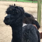 Alpacas come in all colors