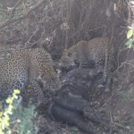 Mother leopard, cub, and kill.