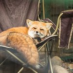 Lounging Fox