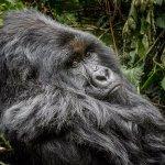 Dominant male gorilla