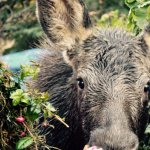 Moose calf by deck, enjoying ALL of the plants in containers.