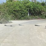 Iguanas crossing in the morning