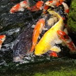 Very Large Koi Fish at Butterfly Park