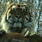 The male tiger relaxing