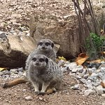 Watchful meercats