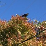 El Rey Raven...Kudos for National Wildlife Bird Sanctuary Status