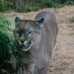 Nigel the Puma