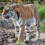 Julia the tigress