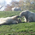 Polar Bears in October. Waiting for Snow?