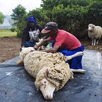 shearing sheep the old fashioned way!