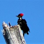 Pileated woodpecker on North Captiva(Hylatomus pileatus)
