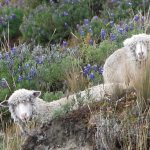 curious sheep amid the lupine