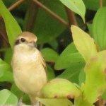 Brown shrike, amigrant bird.