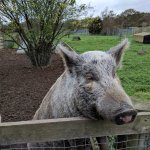Friendly micro pigs
