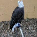 Loud bald eagle