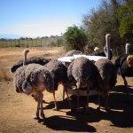 Ostrich herd - up close