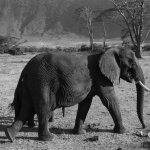 Great tusker in Ngorongoro Crater