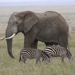 Great tusker (and some zebras.. they are everywhere..)