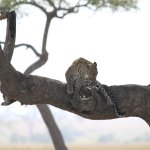 Female leopard resting in a sausage tree..