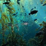 The Live Kelp Forest