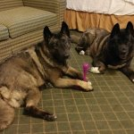 Our 2 Akitas give it 8 paws up :-) Convenient access to take them outside.