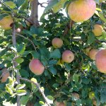 Reed Valley Orchard