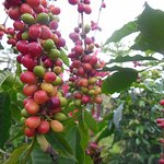 We grow Kona Coffee just up the hill and Rob offers ono cups of it. Not from our farm tho.