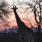 Doctor wanted a photo of a giraffe walking through the sunset -here it is