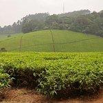 Photo of Kiambethu Tea Farm