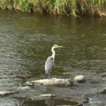 A heron on the river which flows at the rear of the hotel.