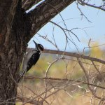 Hairy Woodpecker in Trinity Lake Park