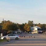 Turkeys crossing the road in town