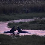 Hippos from the treehouse