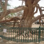 The Famous TREE of LIFE, Mnama - WORTH SEEING