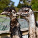 Wildlife Park Emus